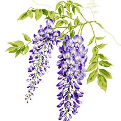 Wisteria clipart Vintage Botanical and Flower Art