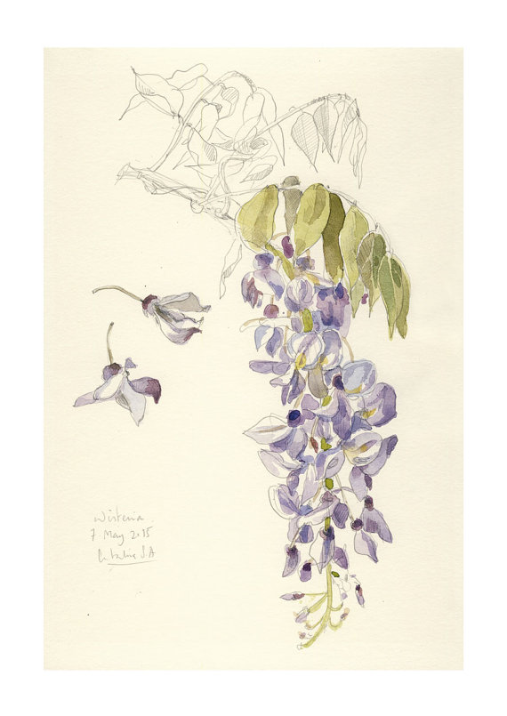 Wisteria clipart border Art PRINT Botanical drawing &