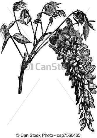 Wisteria clipart painting Chinese Vector vintage of Wisteria