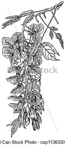 Wisteria clipart drawing Wisteria Plant Wisteria sinensis csp11363302