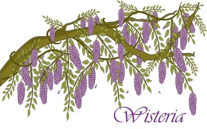 Wisteria clipart drawing Resolution Free 300x187 Clipart