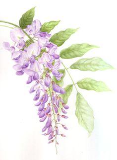 Wisteria clipart drawing Tree Wisteria wisteria wisteria