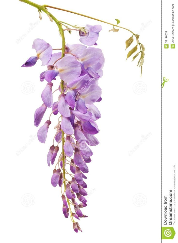Wisteria clipart drawing Download 11 Stock wisteria Photos