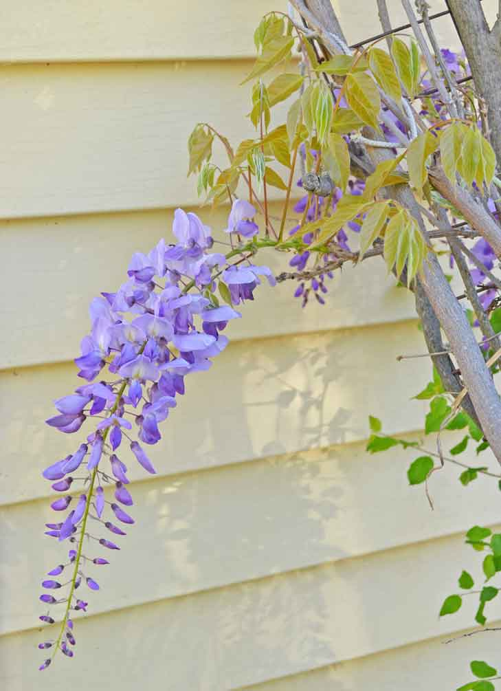 Wisteria clipart painting Blog Flowers & Just Tutorials