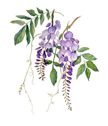 Wisteria clipart border On Wisteria best Pinterest PaintingsFlower