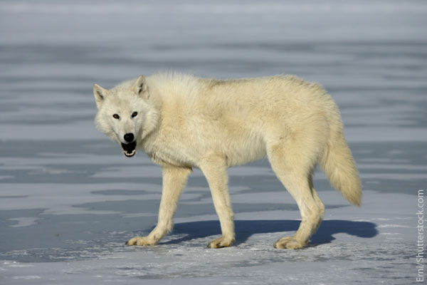 Arctic Wolf clipart tundra animal Wolf Pictures Arctic Arctic Facts