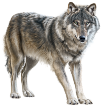 Wolf clipart real 4697 Clipart Wolf Real com