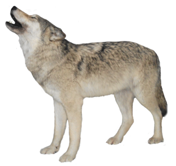 Wolf clipart real Free Animal Wolf Real >