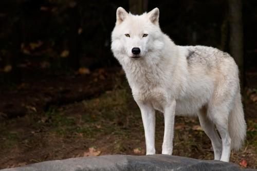 Arctic Wolf clipart tundra animal Animals Tundra tundra animal Khafre