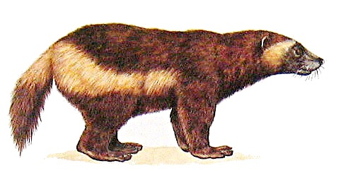 Wolverine clipart Html Wolverine clipart /animals/W/wolverine/Wolverine_clipart
