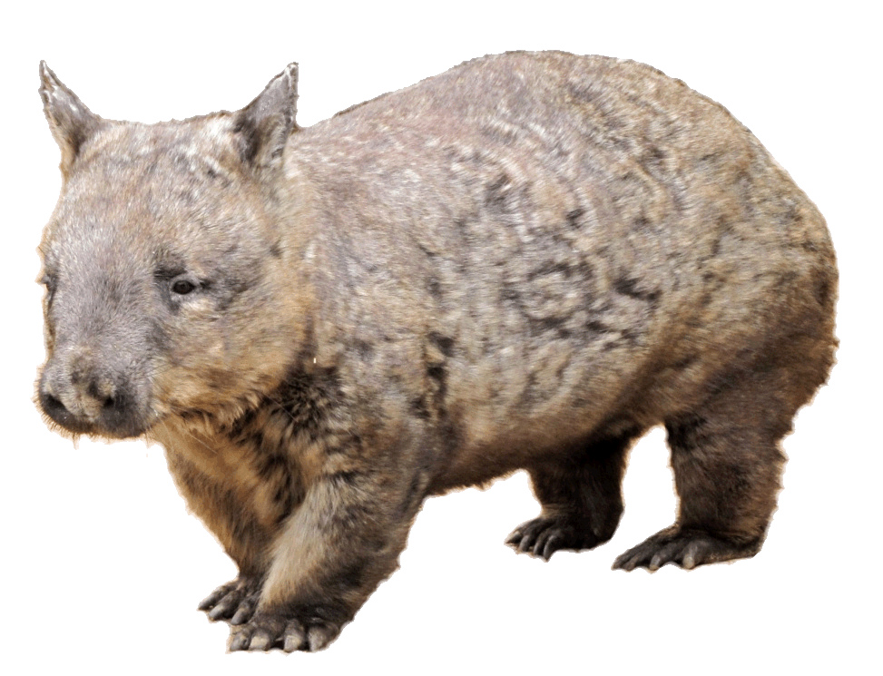 Wombat clipart Wombat image has been picture