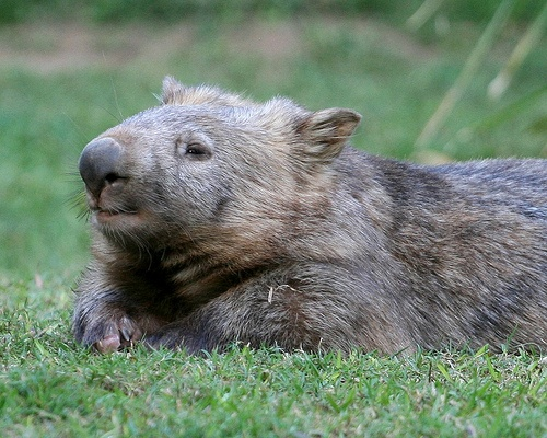 Wombat clipart australian possum Clipart Wombat Download Whopping Wombat