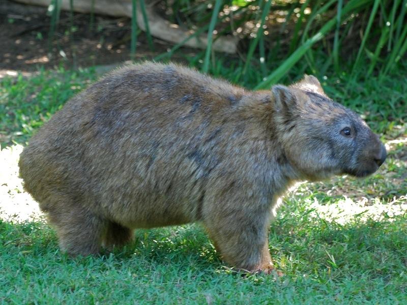 Wombat clipart cute 2010 mammals common photos of