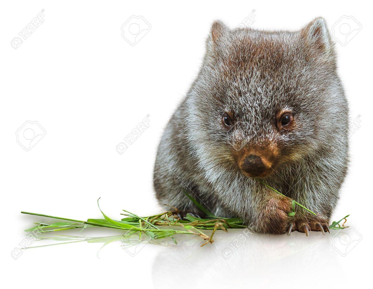 Wombat clipart cute Fans clipart wombat 62 #38