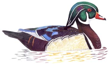 Wood Duck clipart Drawing Wood duck photo#9 Duck