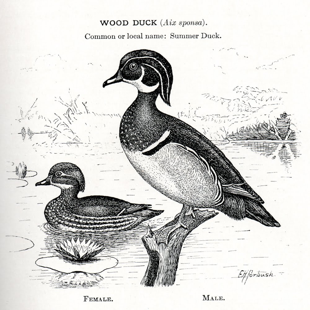 Wood Duck clipart Was of This the image