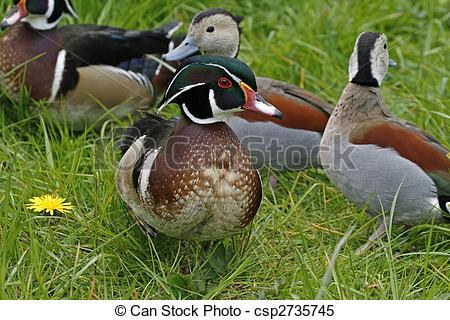 Wood Duck clipart carolina (Aix sponsa) sponsa) duck duck