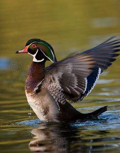 Wood Duck clipart drake Wood Mallard & Mallard flight