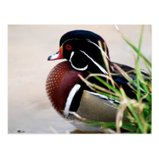 Wood Duck clipart state mississippi Duck Postcard Wood Duck Zazzle