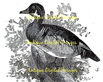 Wood Duck clipart woodland DUCK WOOD dpi MOURNING DiY