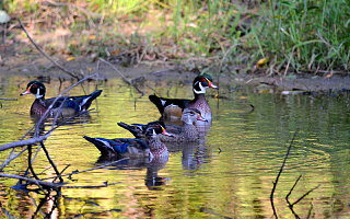 Wood Duck clipart woodland Wood [Photo] Photos Duck Center