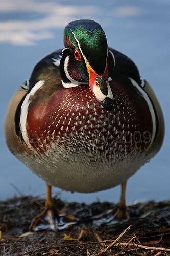 Wood Duck clipart woody Mallard  on 39 best