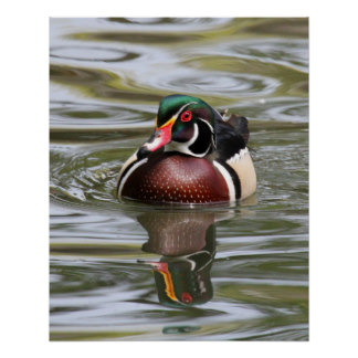 Wood Duck clipart woody Zazzle Duck Quiet Reflections Series