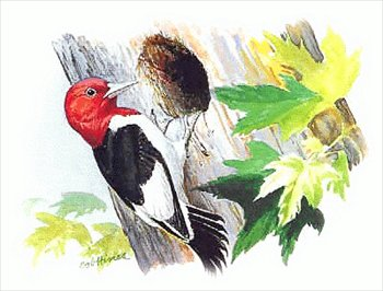 Bird clipart woodpecker Images  Clipart and Free