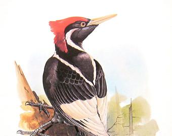 Red Headed Finch clipart etsy Etsy 12 print Woodpecker Extinct