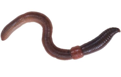 Worm clipart earthworm Clipart Earthworm Earthworm Free Free