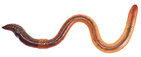 Worm clipart nightcrawler #7