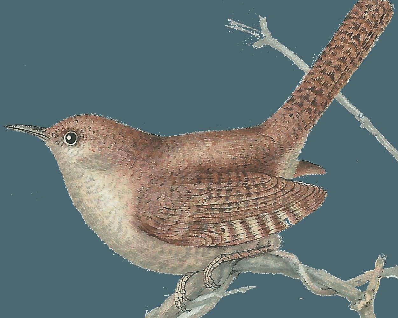Wren clipart Wren Sweet bird Jenny 1