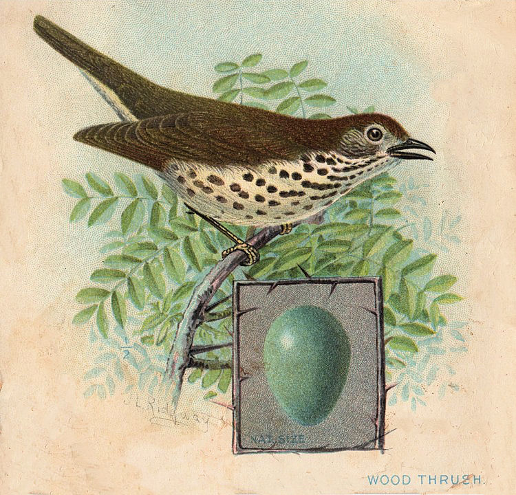 Wren clipart robin bird Vintage Clip Egg Clip Art