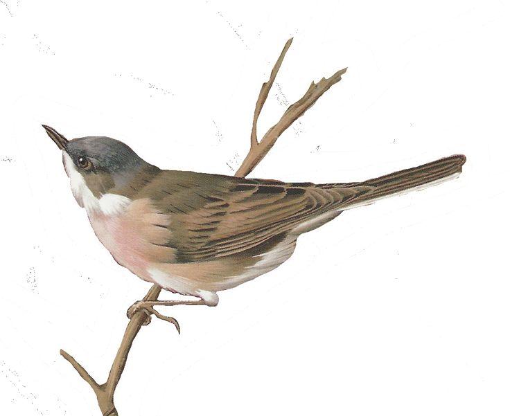 Wren clipart robin bird Art/Graphic Bird Clip on Pinterest