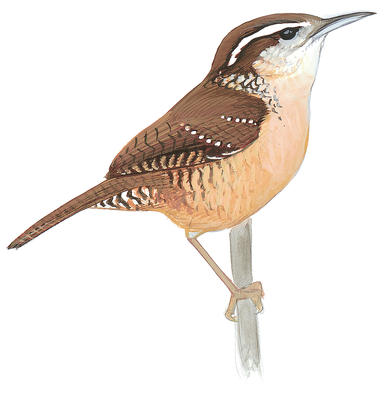 Wren clipart small bird Rock Wren Carolina Guide Field
