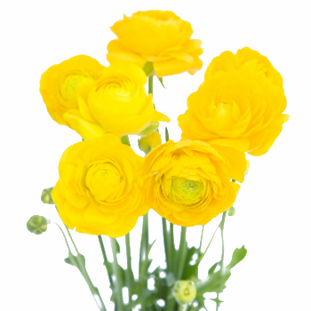 Yellow Flower clipart september flower Ranunculus Fresh  Flowers Sunshine