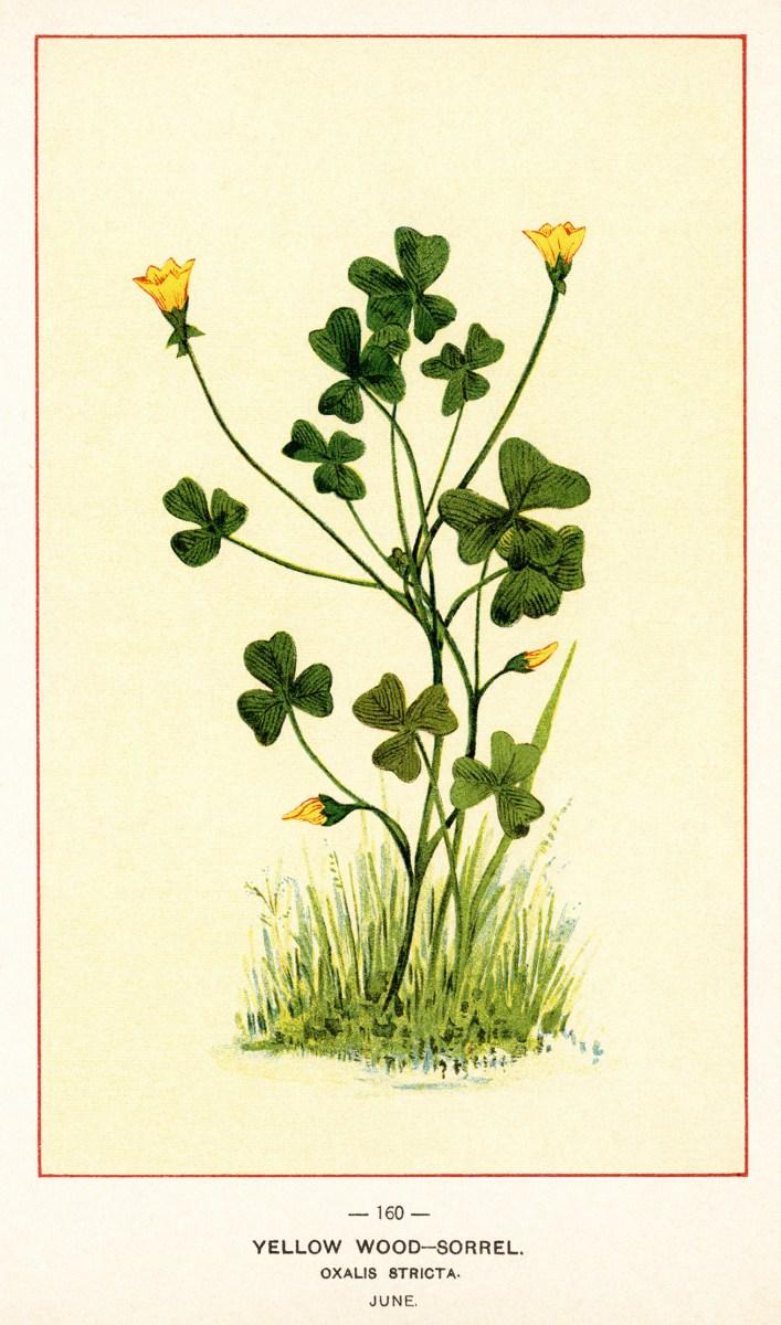 Yellow Flower clipart tall flower Printable ~ scoparius · Vintage
