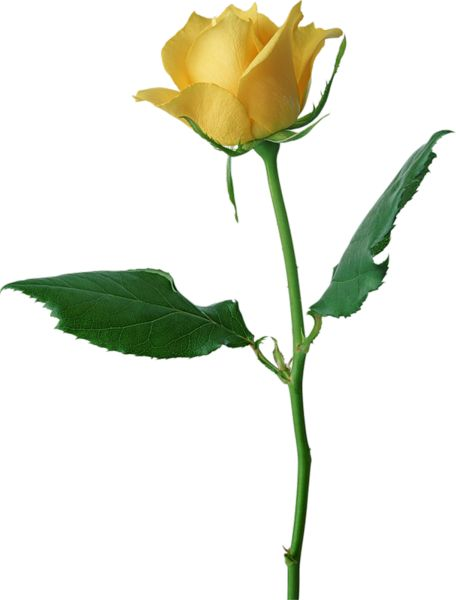 Yellow Rose clipart bud Pinterest Roses on images best