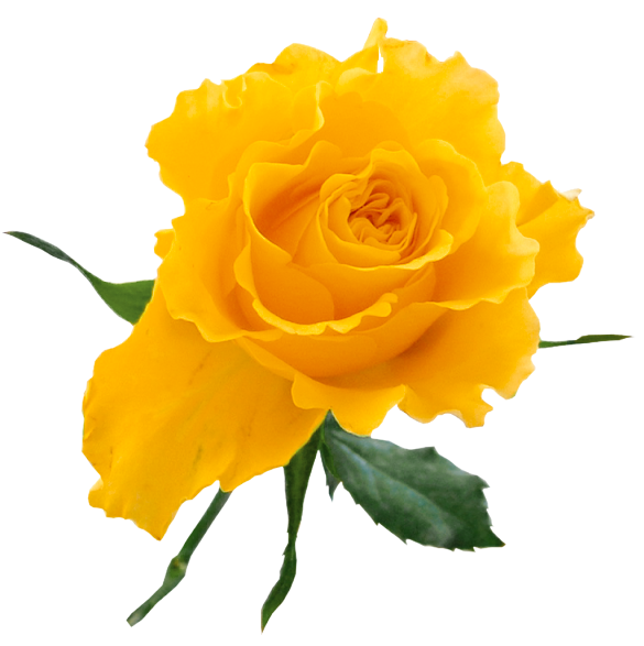 Yellow Rose clipart bud Agriculture My Pinterest Ideas Flowers