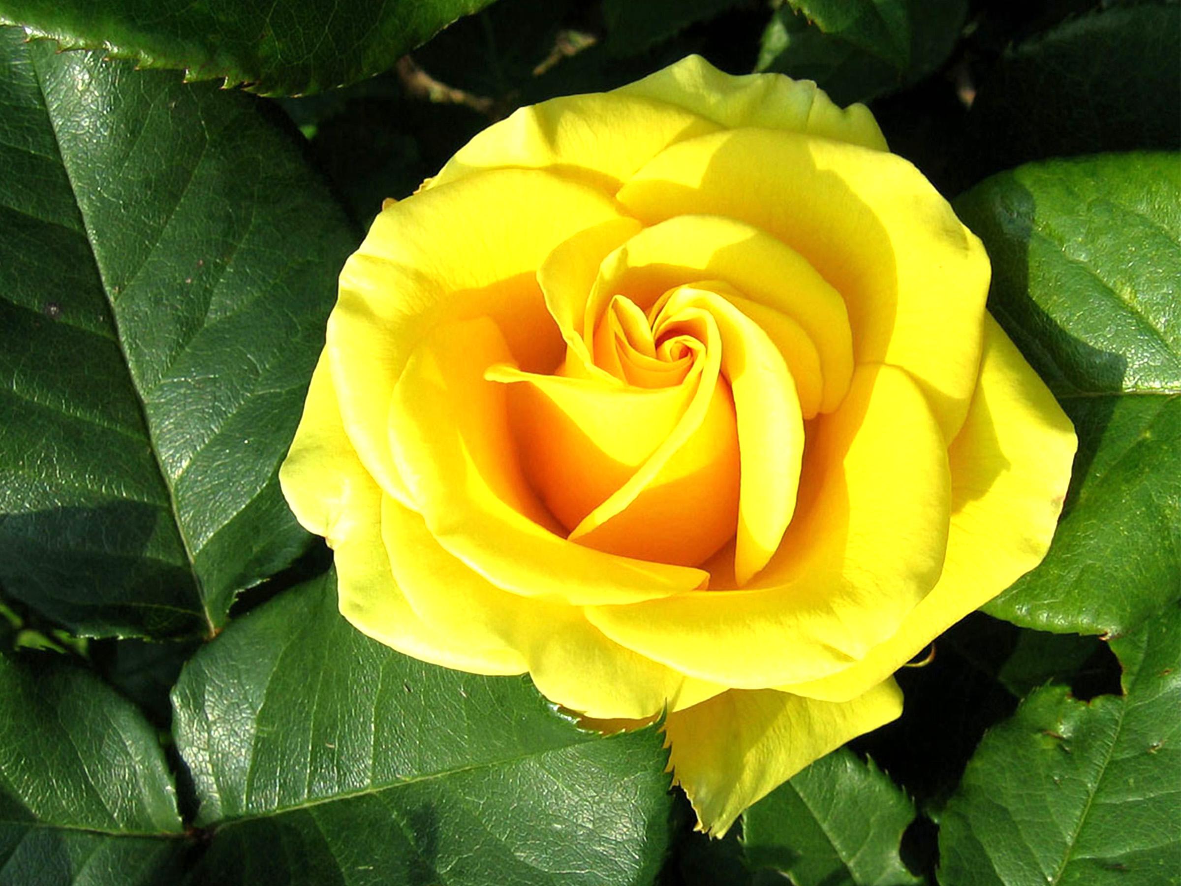 Yellow Rose clipart flower rose wallpaper Green Wallpapers Roses  Wallpaper