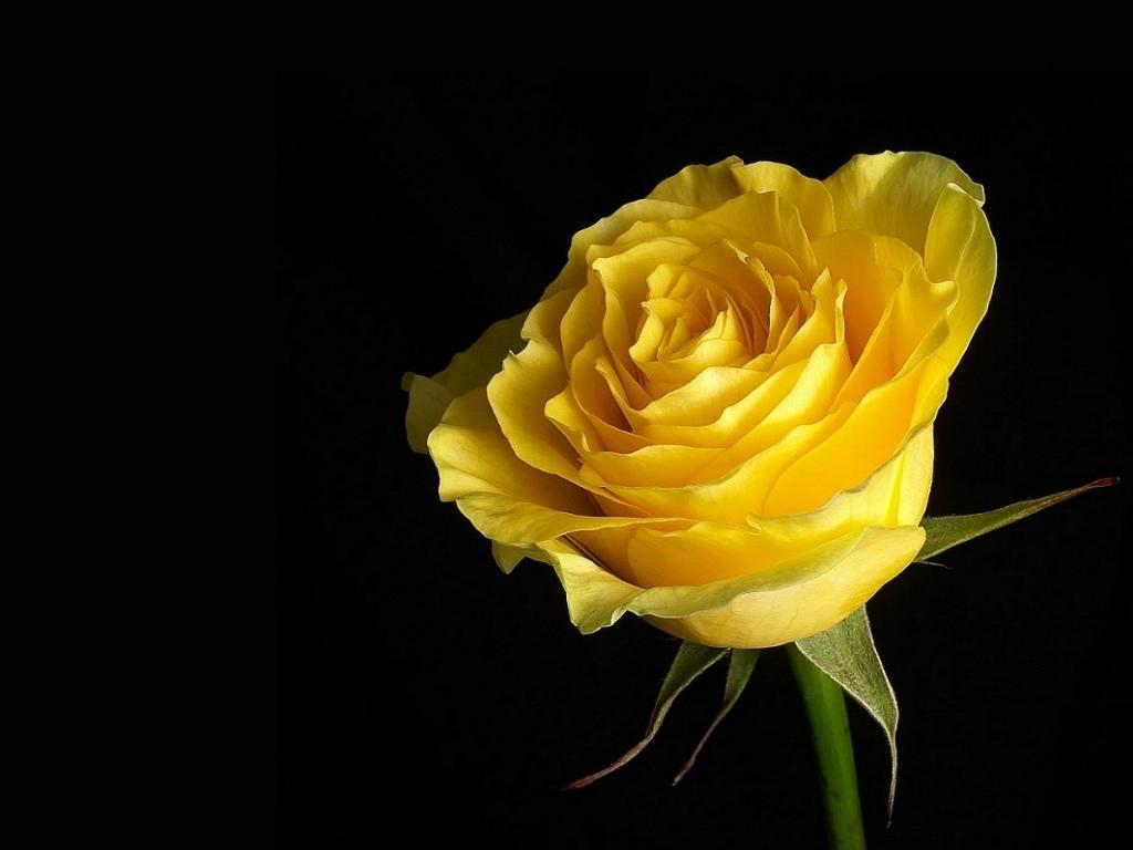 Yellow Rose clipart flower rose wallpaper Fresh as Rose set Download