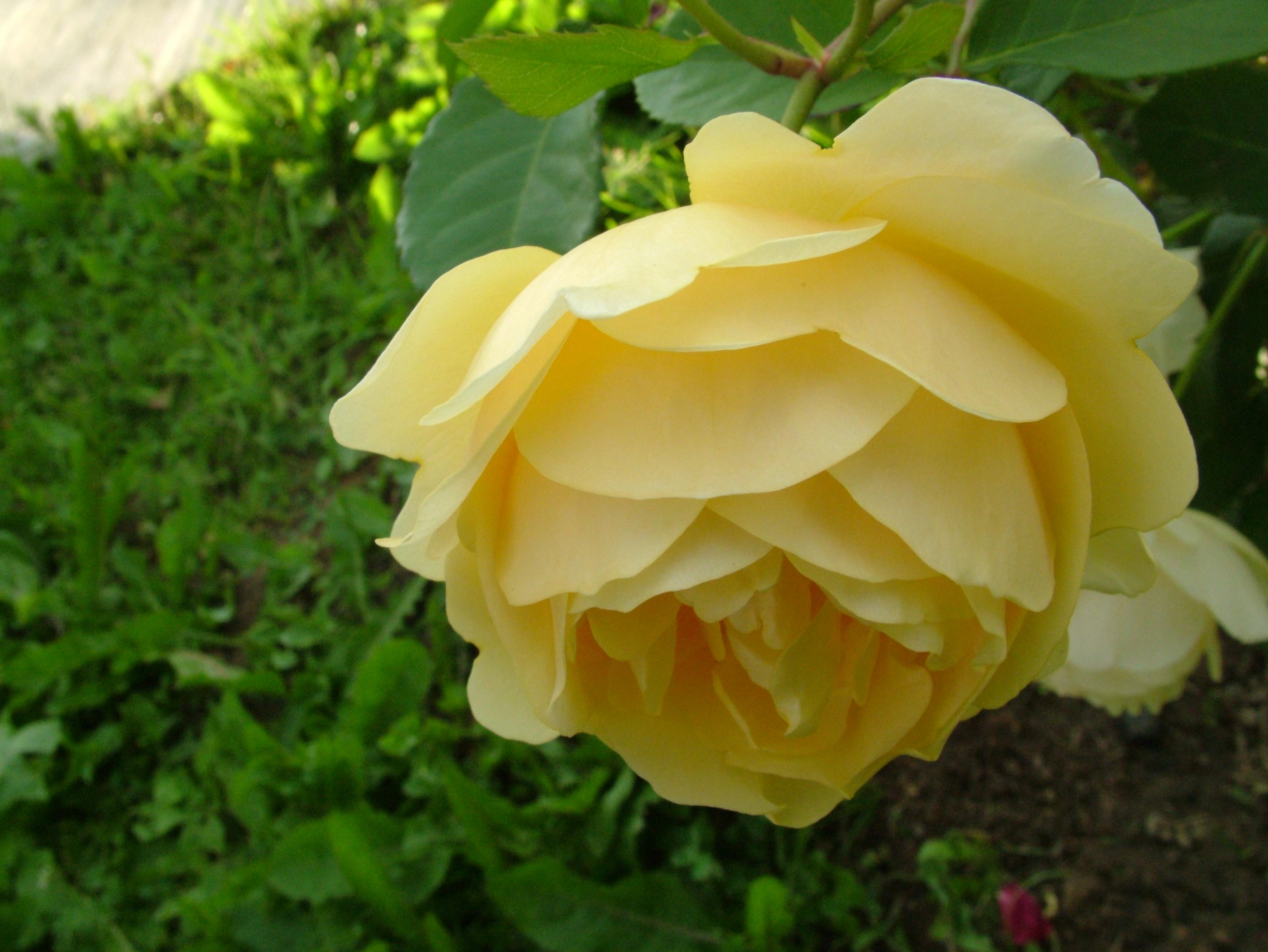 Yellow Rose clipart flower rose wallpaper Royalty WallpaperSafari Screensavers Free and