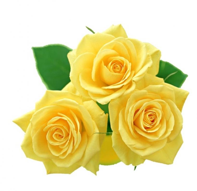 Yellow Rose clipart golden rose #11