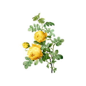 Yellow Rose clipart green rose Polyvore Clipart Free Rose Free
