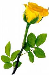 Yellow Rose clipart long stem #11