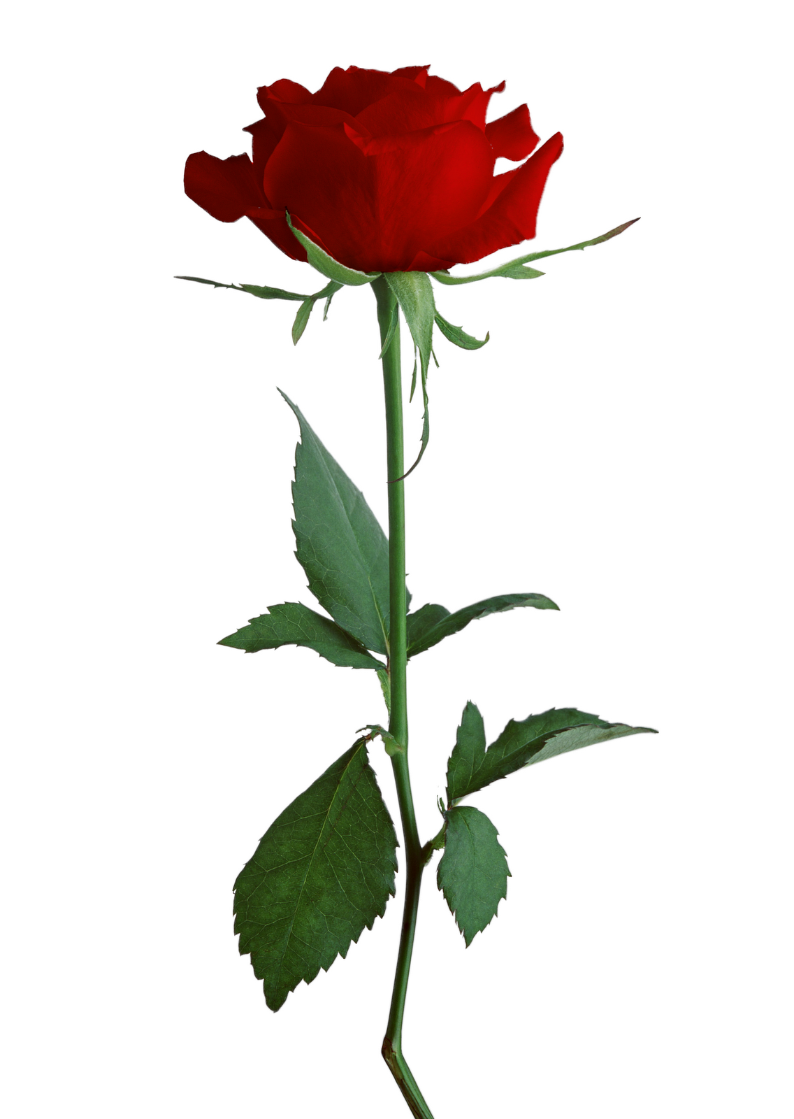 Rose clipart different kind plant #12
