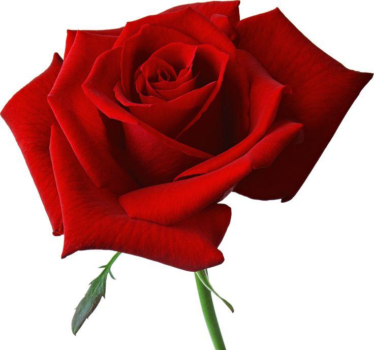 Yellow Rose clipart love flower Buscar con about best FlowersBeautiful