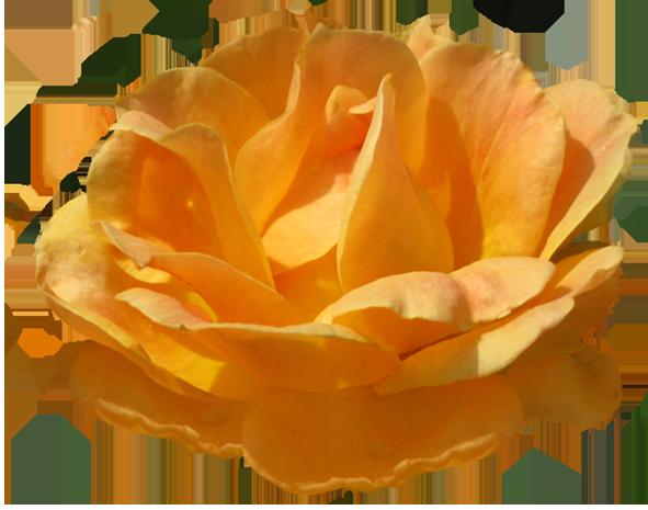 Yellow Rose clipart orange rose Image rose Rosa Rose Zonta