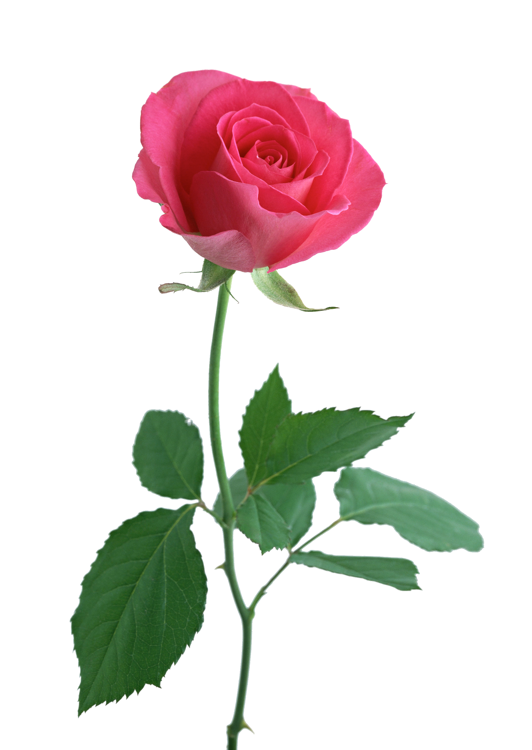 Pink Rose clipart stalk The tattoo! rose rose like