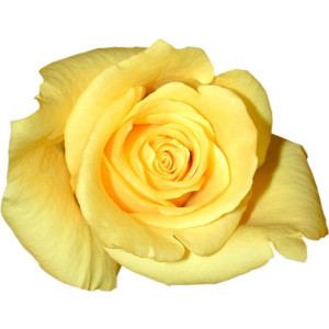 Yellow Flower clipart single flower Free  Rose Victori png